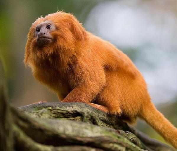 Ecologia Dos Micos Leões